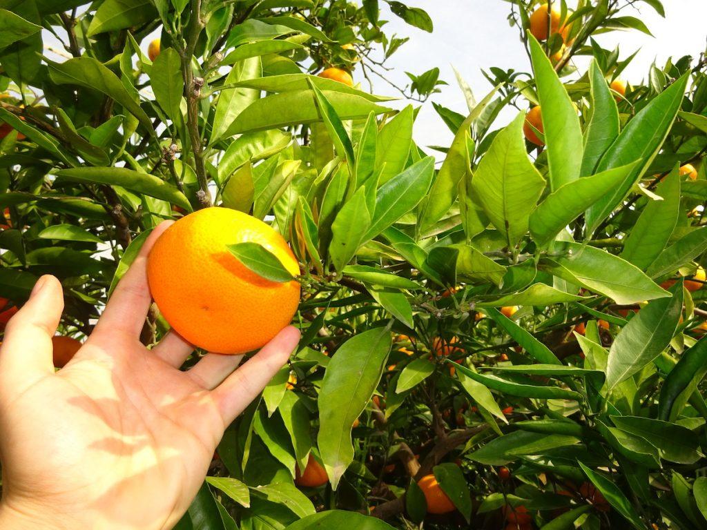 Época de naranjas
